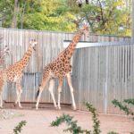 Giraffen im Zoo Dresden