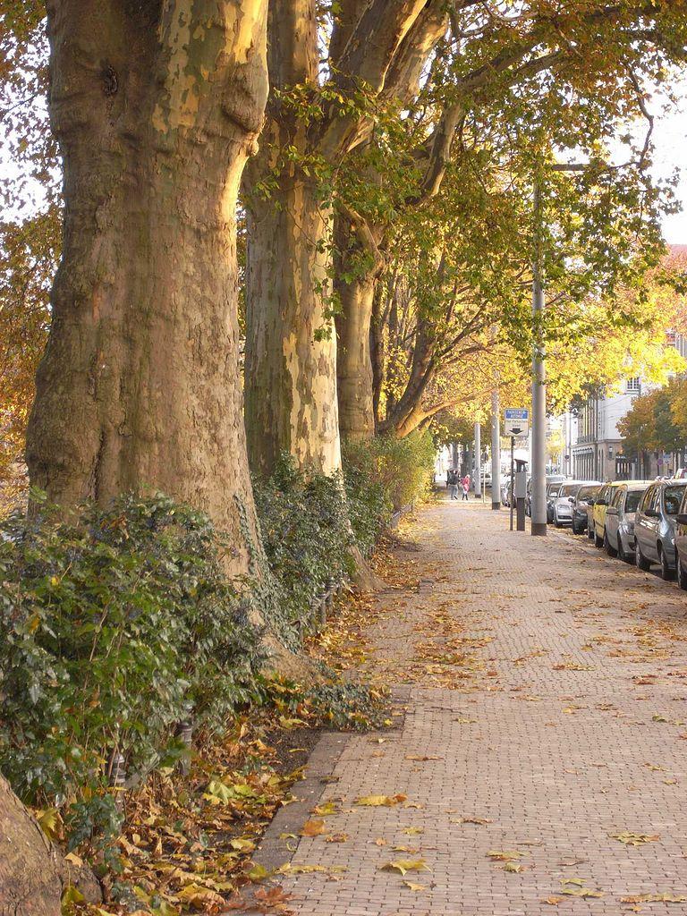 Bäume an der Ostra-Allee