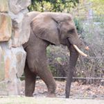 Ein Elefant im Zoo Dresden