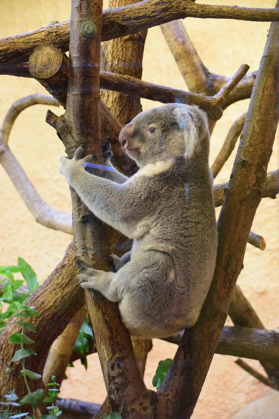 Ein Koalabär im Zoo Dresden